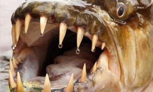 Тигровая акула в реке Конго: боятся даже крокодилы