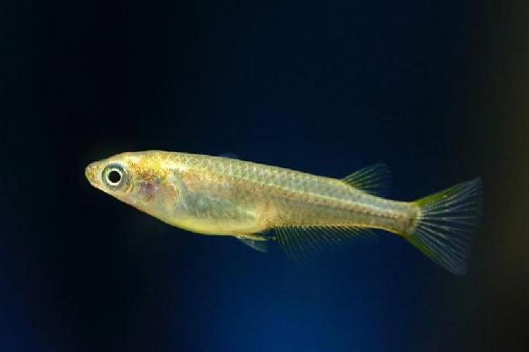 Японские биологи выяснили, как голодание у рыб приводит к смене пола