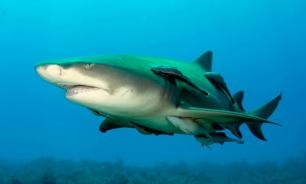 Лимонная акула пыталась оторвать мотор у лодки