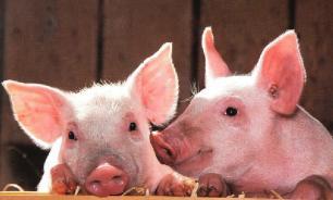Японские исследователи вырастят человеческую железу в организме свиньи