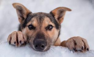 Стало известно, почему собаки чувствуют коронавирус у человека