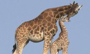 Пятна у жирафов предназначены для маскировки