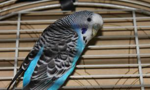 Пернатый друг: если вы решили завести попугая