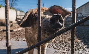 В Хабаровском крае ввели карантин из-за африканской чумы