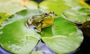 """В Бразилии обнаружили лягушку, живущую в """"гареме"""""""