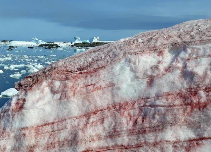 Из-за гренландских водорослей в Альпах порозовел снег