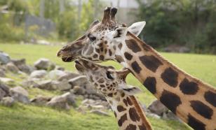 Общающиеся с друзьями самки жирафов живут дольше, чем одиночки