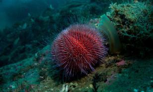 Морские ежи и прочие обитатели глубин - в помощь переболевшим COVID