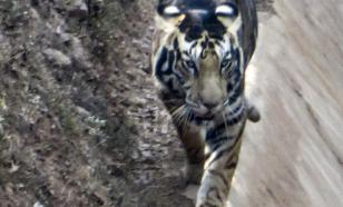 Чёрный тигр попал в объектив фотографа в Индии