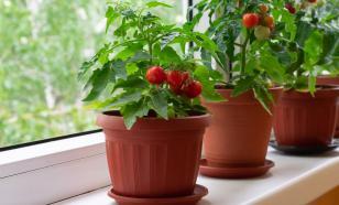 Шесть  овощей, которые можно вырастить на подоконнике