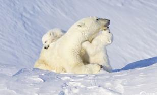 Белые медведи могут исчезнуть к концу XXI века