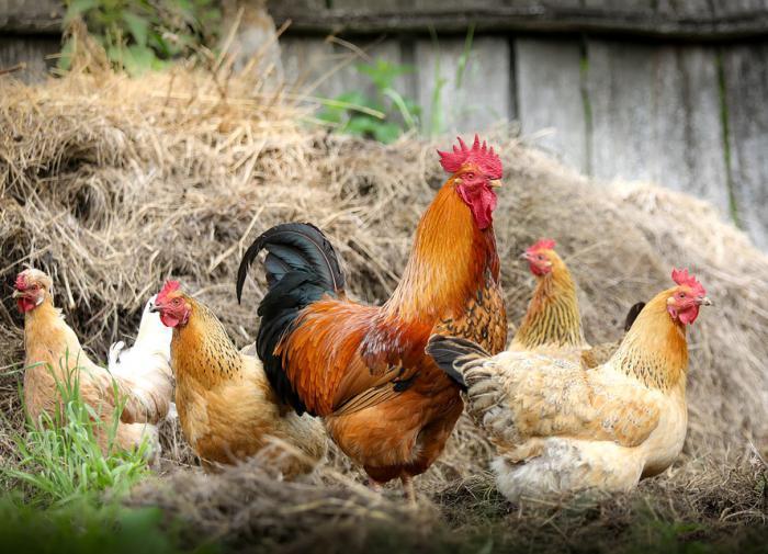 Россия увеличила экспорт мяса птицы почти на треть