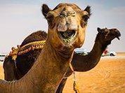 Археологи окрестили Вену столицей верблюдов
