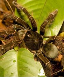 Пауки-птицееды: долгожители, санитары, деликатес