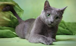 Самые застенчивые кошки - русские голубые