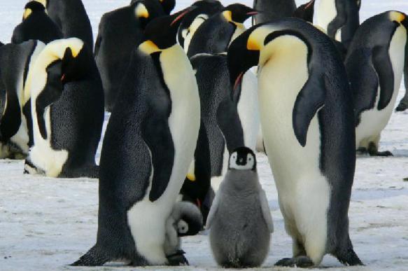 Императорские пингвины могут исчезнуть к 2100 году