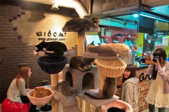 Кафе, где хозяйничают кошки