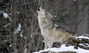 Под Ярославлем волк покусал беременную женщину