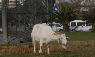 Новые хозяева улиц: белые козлы поселились в британском городе