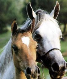 Как научить лошадь охотиться