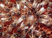 Электричество как способ коммуникации пчел