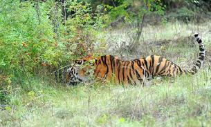 Козел покорил тигра своей храбростью в приморском сафари-парке