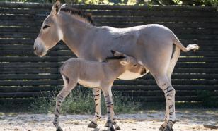 Одно из самых редких животных в мире родилось в зоопарке Англии