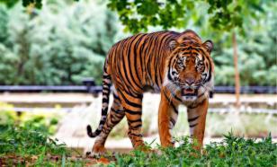 В зоопарке Нью-Йорка у тигрицы обнаружили коронавирус
