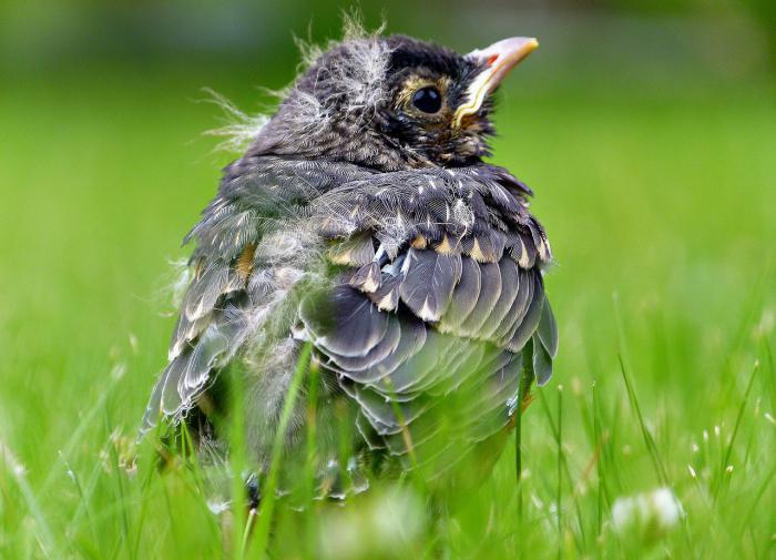 Жителей Подмосковья призывают не трогать птенцов-слетков