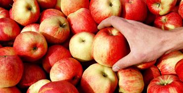 Польша завалена яблоками и мечтает стать их экспортёром в Россию