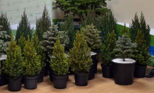 Топ-5 хвойных растений для дома