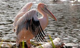 Кузбассовцы спасли раненого пеликана