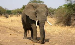На Шри-Ланке слон напал на машину с туристами в поисках еды