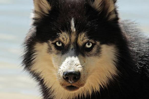 В зоне вечной мерзлоты нашли щенка возрастом 18 тыс. лет
