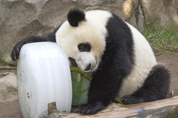 Китаец, убивший панду, приговорен к 13 годам тюрьмы