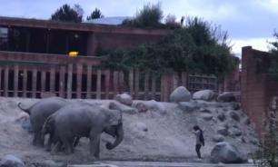 В Копенгагене мужчина оказался в одном вольере со слонами