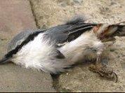 Гибель птиц убьет  человечество