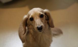 Мал золотник: семь миниатюрных собак, которые не позволят скучать