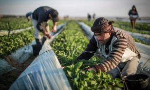 Фермеры Европы: наш урожай сгниет на корню и всем будет нечего есть