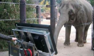 В Японии живет слониха с математическими способностями
