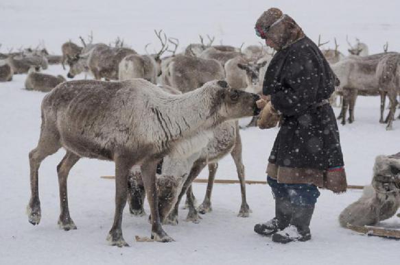 С 21 февраля на Ямале начнут праздновать День оленевода