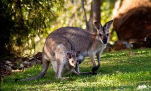 """Мельница заблуждений: Что значит """"кенгуру""""?"""