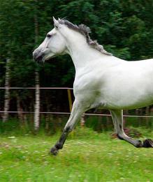Орловский рысак - лошадь, обгоняющая ветер