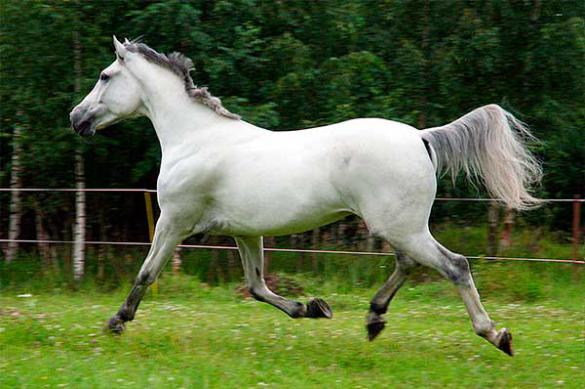 рысак конь