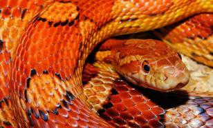Житель Владимира обнаружил у себя в квартире змею