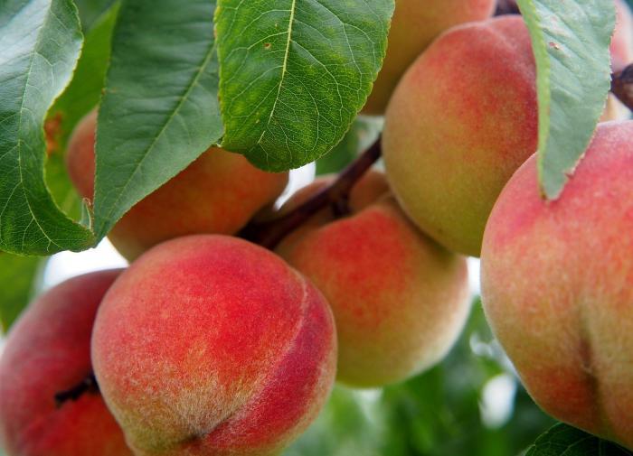 Разработан электронный нос для определения зрелости персиков
