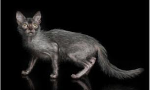 Ликой - необычная порода лысых кошек