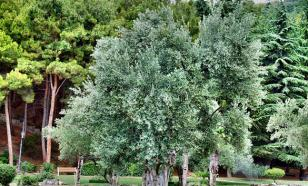Целебный можжевельник: лекарство и украшение сада