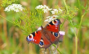 Аномально теплый декабрь разбудил петербургских бабочек