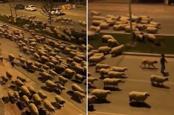 Тысячи овец гуляют по улицам турецкого города, пока люди на карантине